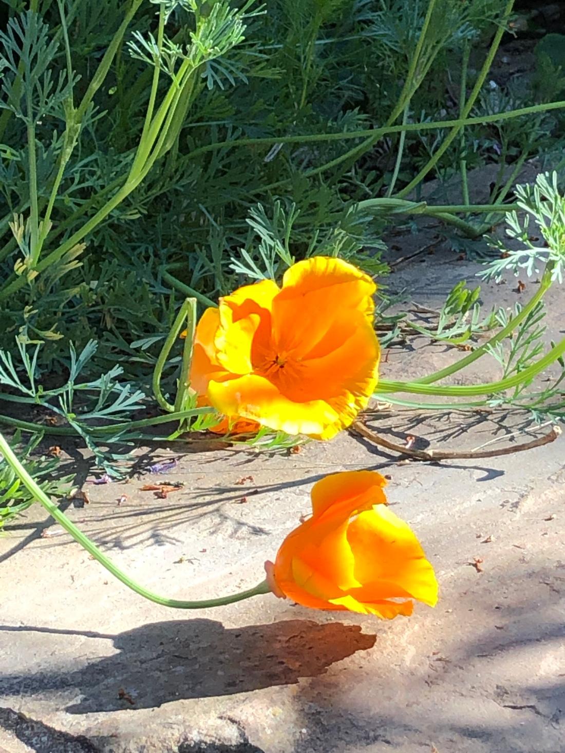 California poppies in the sunshine