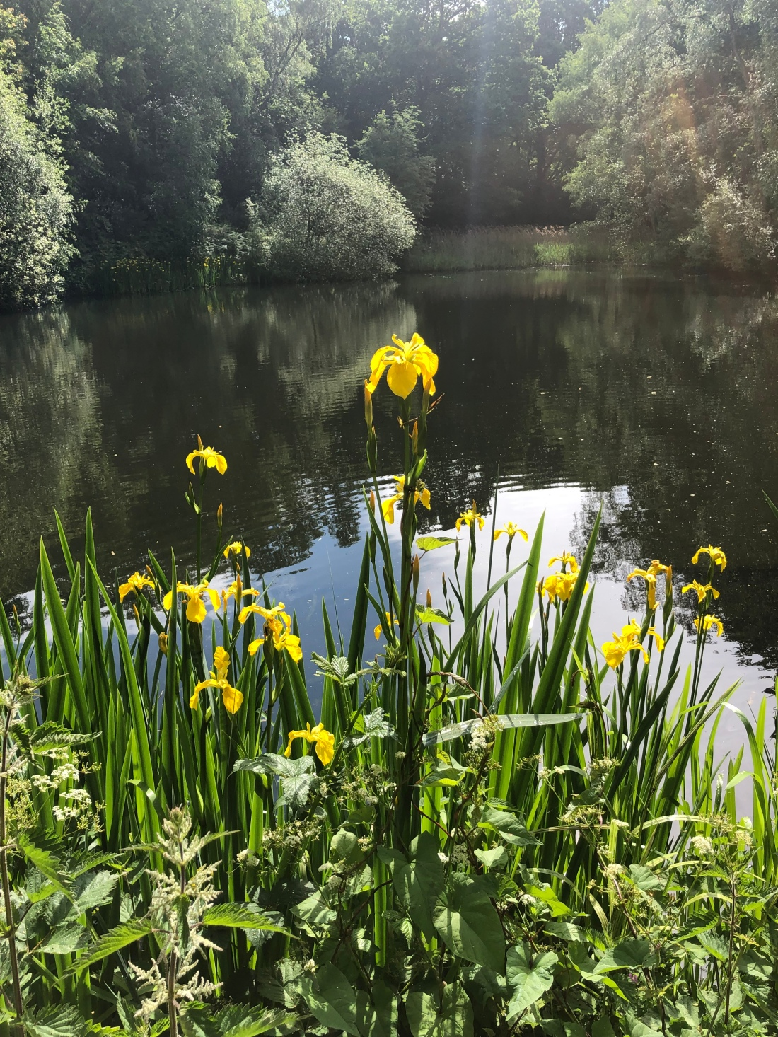 yellow irises by a pond